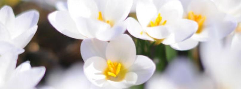 Белые цветы в парфюмерии.